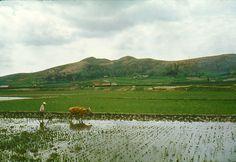 1960 South Korea ~ Rice Farming    Rice farming somewhere in South Korea, circa 1960.