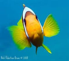clownfish (Amphiprioninae) - Bing Images