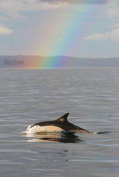 Common dolphin under a rainbow
