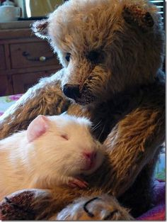 i wasn't aware that guinea pigs like stuffed animals.  i'll have to put one in the new cage ... YES! They love them .. use them as pillows :).......my piggies love them.  We wash them along with their beds each week.