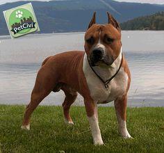 Raza AMERICAN STAFFORDSHIRE, descubre más sobre tu mascota en nuestra wiki especializada. (Próximamente disponible) www.petcivi.com/