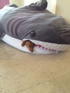 """Have a gander at this wiener dog chilling out in a shark sleeping bag. 