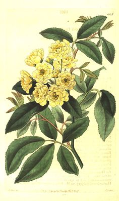 pictures of Rosa banksiae 'Lutea' | Figured are pinnate leaves and a cluster of small yellow, double roses ...