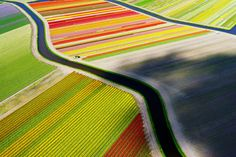 A bird's eye view of tulip fields near Voorhout in the Netherlands, photographed in April 2015. IMAGE-    ANDERS ANDERSSON /