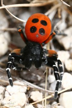 Ladybird Spider (Eresus moravicus), from central and eastern Europe. while the males of Ladybird Spiders (Eresus spp.) are smaller and brightly colored (red and black like ladybird beetles), the females are robust and more darkly colored, sometimes with yellow on the face.