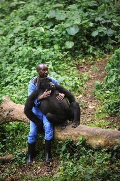 Andre Bahuma, a warden at the Virunga National Park, plays with an orphaned mountain gorilla in the gorilla sanctuary in the park headquarters at Rumangabo in the east of the Democratic Republic of Congo on July 17, 2012.