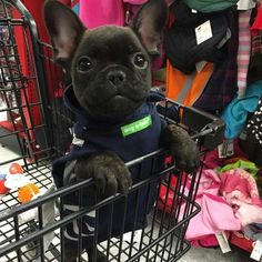 """Mom took me shopping!"", Rallo, the French Bulldog Puppy, @i.am.rallo"