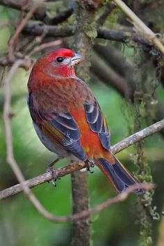 Crimson-browed finch.