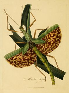 Mantis gigas(now called Diapherodes gigantea), from the Natural History of the Insects of India by Edward Donovan, London. Printed for the author by T. Bensley, Bolt Court, Fleet Street. Sold in 1800