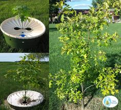A red oak tree, grown from seed and then planted with the Groasis Waterboxx, needing no water after planting.  The Waterboxx allows you to grow trees from seed or sapling with no weeding or watering after planting.