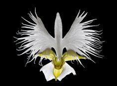 White-Egret-Orchid / Fringed-Orchid o: Pecteilis radiata (Synonym: Habenaria…