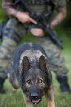 Why Is My German Shepherd Dog Whining Constantly? Army Dogs, Police Dogs, Police Humor, Military Working Dogs, Military Dogs, Military Life, Malinois, German Shepherd Dogs, German Shepherds