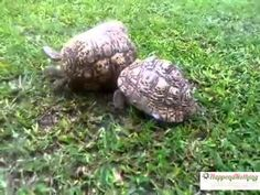 Hero Turtle Rescues Upside-Down Turtle :-) this is just stinking cute to me