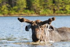 Moose in Moosehead Lake Area in Greenville, Maine