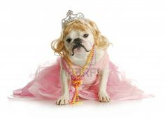 spoiled female dog  - english bulldog dressed like a princess on white background Stock Photo - 11320756