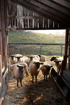 FARMHOUSE – ANIMALS – sheep have a much longer attention span than millenials.