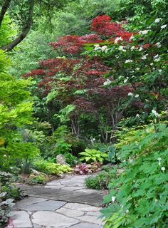 Much of what I know about Japanese Maples comes from simple observation.     They are relatively slow growing. The little green leaf...