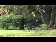 Bear that walks upright re-spotted in New Jersey; help sought for injured bruin | GrindTV.com