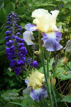 Photo of Iris (Iris 'Seakist') uploaded by Calif_Sue