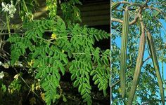 Medical and Healthy benefits of Drum stick / Moringa oleifera Herbal Remedies, Natural Remedies, Agriculture, Miracle Tree, Moringa Leaves, For Your Health, Natural Medicine, Health Diet, Natural Health
