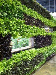 lettuce green wall - Google Search