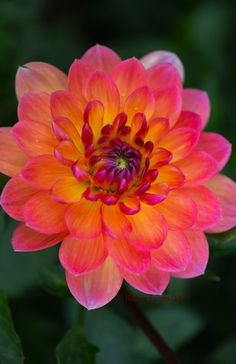 Fire And Rain by Robin Evans on 500px (Do NOT remove credits or link - All Rights Reserved) Pam Howden Waterlily Dahlia - Peachy-orange petals with hints of fuchsia and a glowing yellow center. Stunning waterlily dahlia!Pam Howden is the widely considered to be the golden standard to which all other waterlily dahlias are held, with amazing petal structure and a mixed petal coloration of yellow, orange and purple.