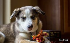 Complete Guide to Australian Shepherd Husky Mix Breed Dog Australian Shepherd Husky, Husky Mix, Mixed Breed, Cute Dogs, Puppies, Animals, Cubs, Animales, Animaux