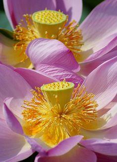 ✯ Lotus
