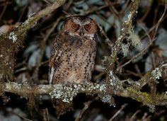 Luzon Scops Owl (Otus longicornis) by Bram Demeulemeester - The Owl Pages Owl Photos, Owl Pictures, Owl Species, Small Owl, World Birds, Beautiful Owl, Wise Owl, Owl Bird, Find Picture