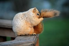 "Adorable squirrel holding his tail… ""Tail Grooming II"" 