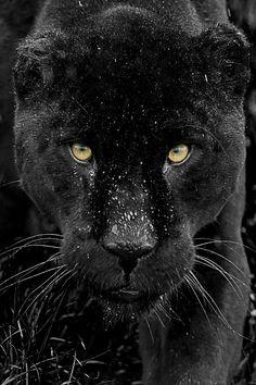 Black Jaguar by Colin Langford