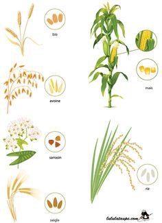 Imagier les céréales, fiche gratuite à imprimer Horticulture, Environmental Studies, Life Cycles, Montessori, Countryside, Nature, Teaching, Activities, Education