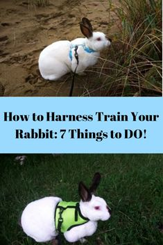 """How to Harness Train Your Rabbit: 7 Things to DO! - Learn How to Train your Rabbit and Prepare Them for a Harness & Leash. """"Learn How to Train your R - Diy Bunny Cage, Diy Bunny Toys, Bunny Cages, Rabbit Cages, Pet Bunny Rabbits, Pet Rabbit, Rabbit Toys, Giant Rabbit, Giant Bunny"""