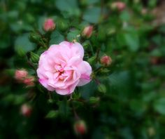Pink flower and buds