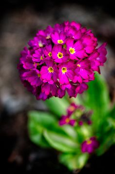 """Primula Denticulata Red"""