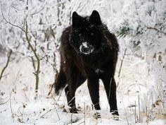 black pigmentation  dark pigmentation  melanin  melanism  melanistic animal