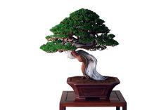 www.davidbenavente.com producto juniperus-chinensis-var-itoigawa-6
