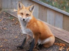 Check out these 10 interesting facts (complete with cute photos) about foxes, wonderful creatures who deserve more respect. Beautiful Creatures, Animals Beautiful, Cute Animals, Beautiful Birds, Fox Facts, Fennec, Wolf Hybrid, Fox Pictures, Interesting Animals