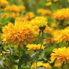 Gaillardia Sundance Yellow Flower Seeds (Gaillardia Pulchella) 50+Seeds