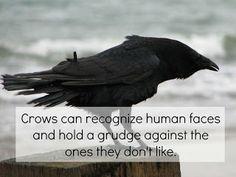 i had a pet crow