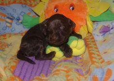 Sunny Labradoodle Puppy Smiles!
