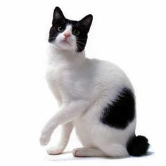 Japanese Bobtail Cat History.Click the picture to read