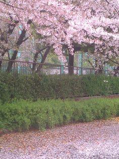 雨桜~ ともに散り降るセレナーデ 過ぎ行く春の神戸夕暮れ~♪ お問合わせ多数頂いております新メニュー、 今月から来月にかけて出る予定ですので 今しばらくお待ち下さいませ<(_ _)>スミマセン http://www.kobecoffee.com