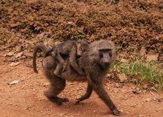 A troop of wild baboon on our road trip through Uganda #monkeys #africa #uganda #safari