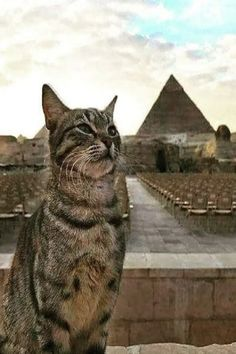 Cats In Ancient Egypt, Egypt Cat, Ancient Egypt History, Animals Of The World, Animals And Pets, Cute Animals, Siamese Cats, Cats And Kittens, Pet Dogs