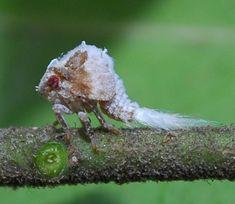 planthopper nymph - Acanalonia servillei