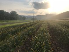 Morning before garlic harvest 2019 Garlic Farm, Harvesting Garlic, Garlic Seeds, Garlic Bulb, Farm Photo, Photos, Pictures, Country Roads, Nature