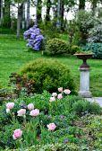 Tulipe finola - Azalée