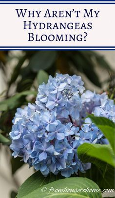 Why are my Hydrangeas not blooming? | Having trouble with your hydrangeas not blooming? Find out how to fix the problems so that you can grow these beautiful flowers in your garden.
