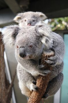 �Psst. It�s me. Baxter!� | Get To Know The Taronga Zoo's Newest Baby Koalas